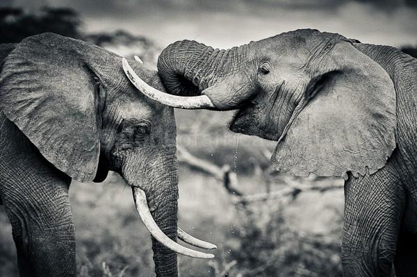 African Elephant, Chyulu Hills, Kenya