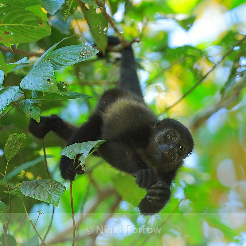 Howler Monkey hanging upside down, Manuel Antonio, Costa Rica - Monkey