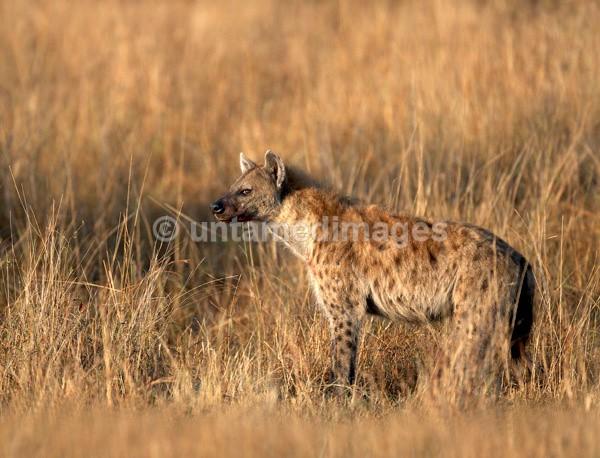 Spotted Hyena - Kenya