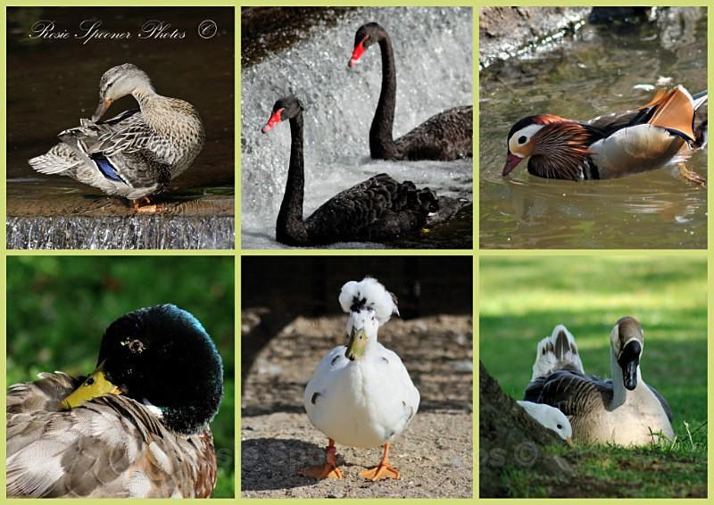 DW02 Black Swans Ducks and Geese at Dawlish - Greetings Cards Dawlish