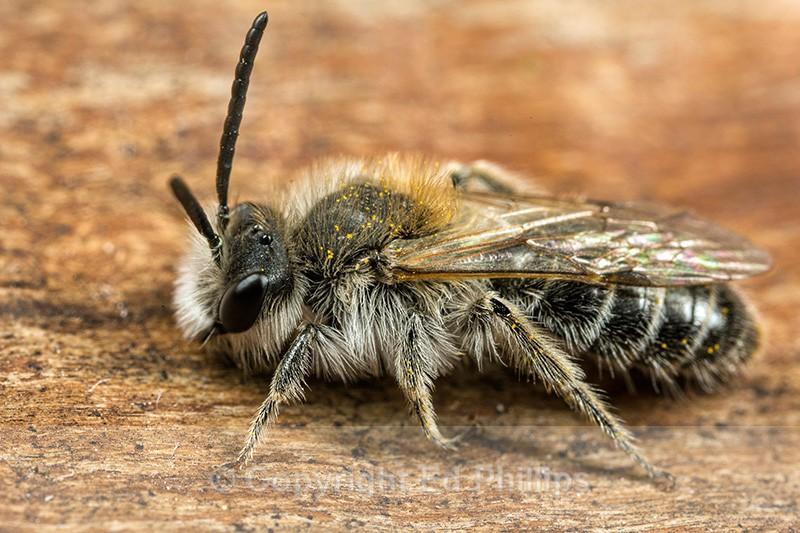 Andrena barbilabris (m) - Andrena barbilabris