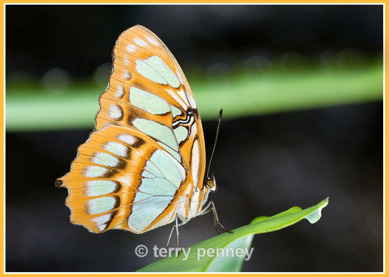 Butterfly 5 (Captive) - Insects & Spiders