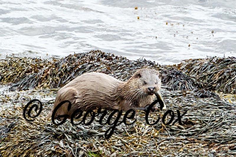 Otter - Mammals