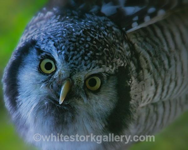 Little Tawny Owl - Wildlife and Animals