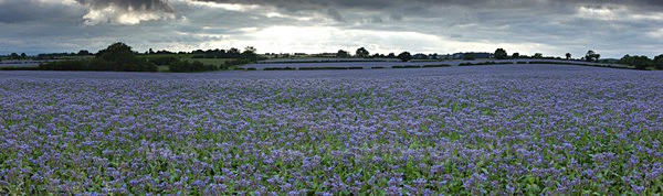 borage field      ref Panoramic 3 - County Durham