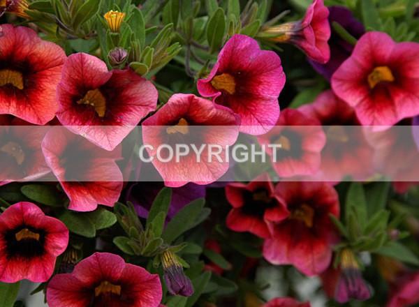 Petunia-poppy DSC_1918 - The Flower Shop