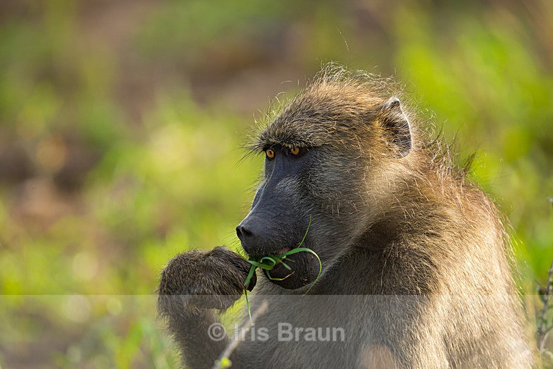 Related to humans? - Baboon