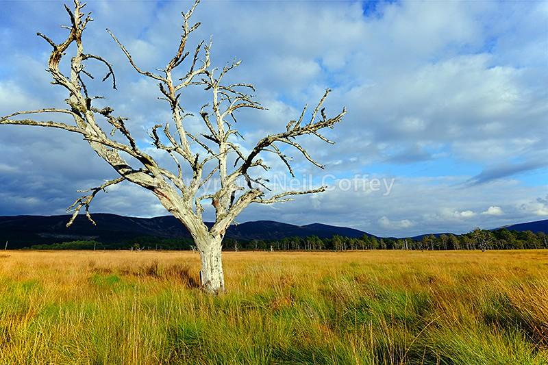 Dead tree, Glenmore Forest Park, Cairngorms - Landscape format
