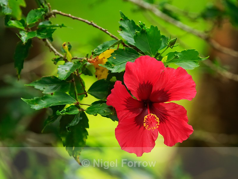 Red Hibiscus flower, Hawaii - PLANTS