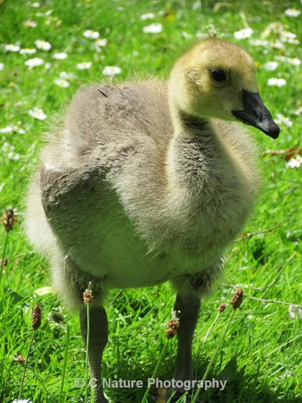 Gosling - Birds