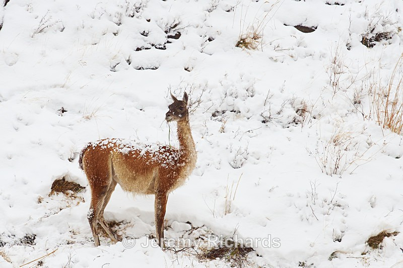 Guanaco in the Snow - Wildlife of Chile