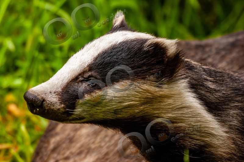 badger Meles meles-3 - UK Wildlife