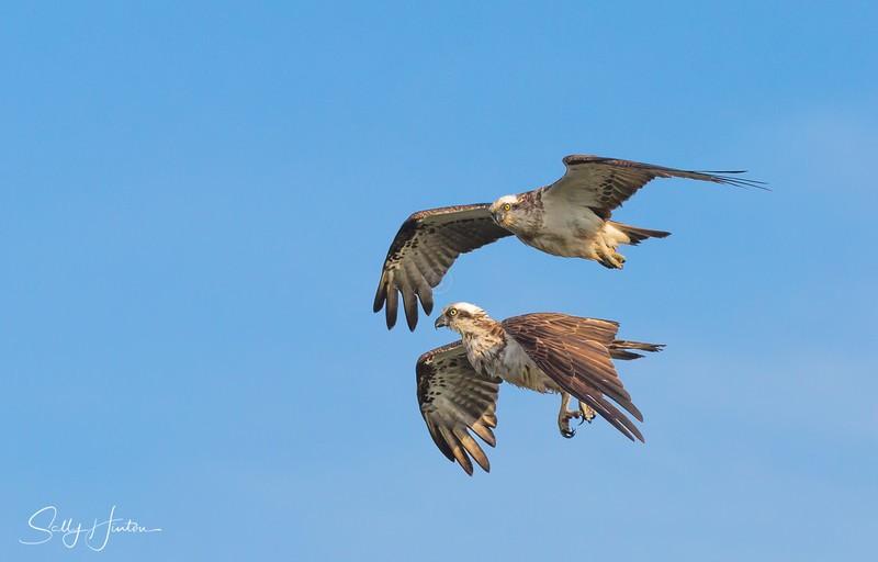 Osprey Pair in Flight 5 - Osprey (For Sale)