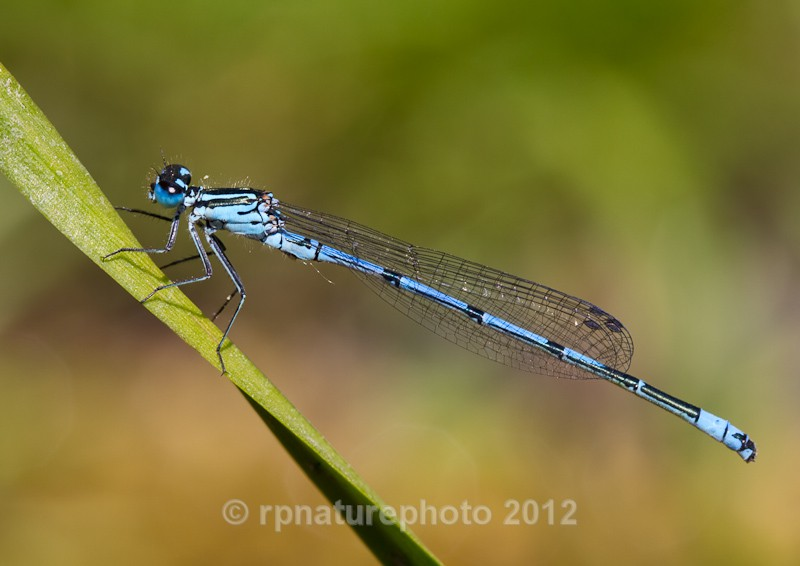 Azure Damselfly - Coenagarion puella RPNP0012 - Insects & Spiders