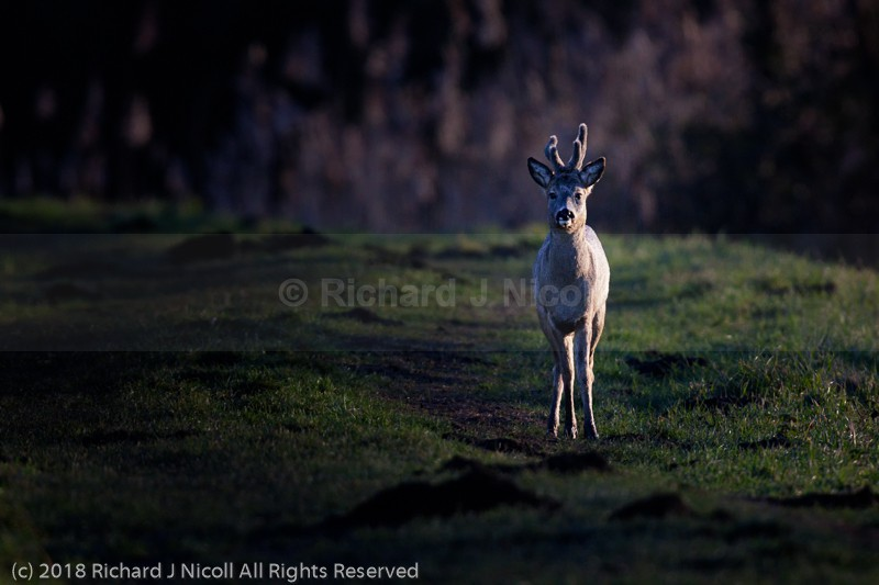 Roe Deer (Capreolus capreolus) in Early Light - Roe Deer (Capreolus capreolus)