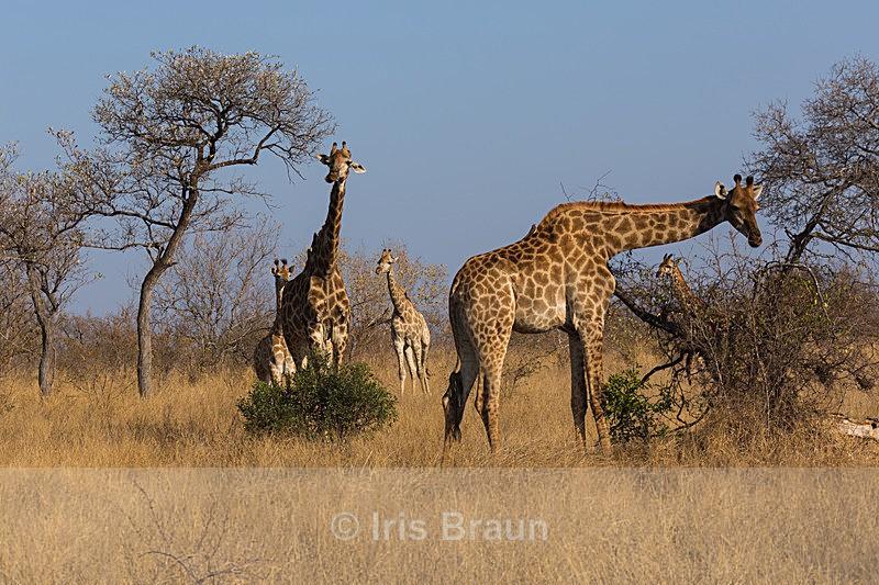 Giraffes in Kruger - Giraffe