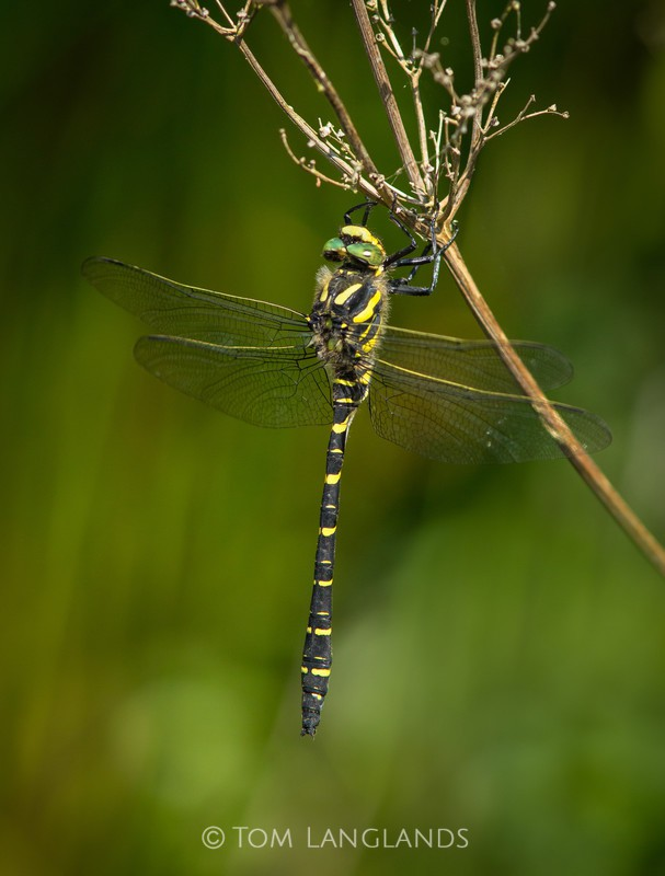 Golden-ringed Dragonfly - Macro