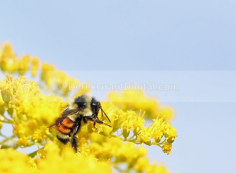 Tricoloured Bumblebee Orange-belted Bumble bee - Bees, Beetles, Bugs