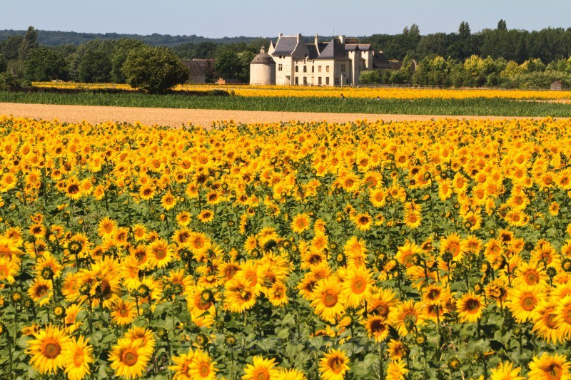 Chateau and Sunflowers - European Landscapes