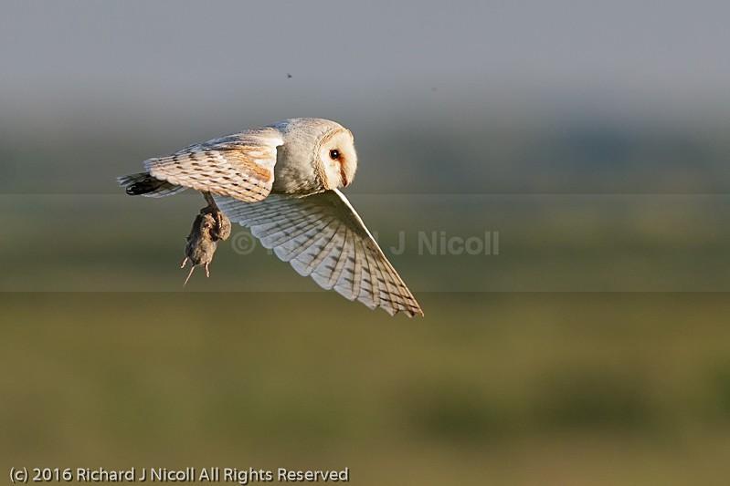 Barn Owl (Tyto alba) with prey - Barn Owl (Tyto Alba)