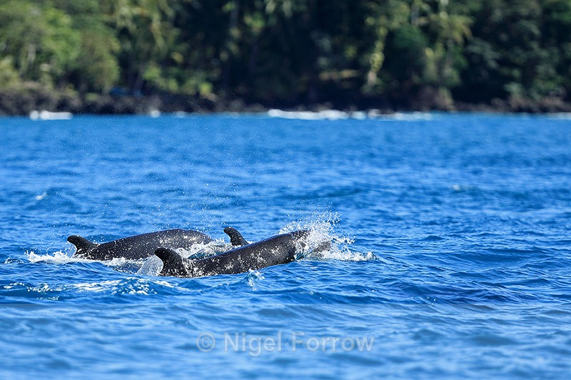 False Killer Whales, Costa Rica - Dolphin