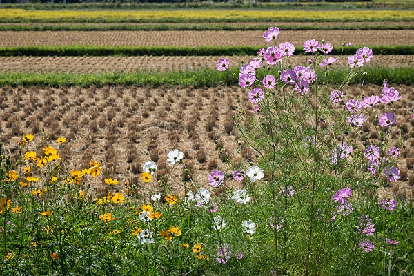 18 Rice Fields with Cosmos - Autumn Rice