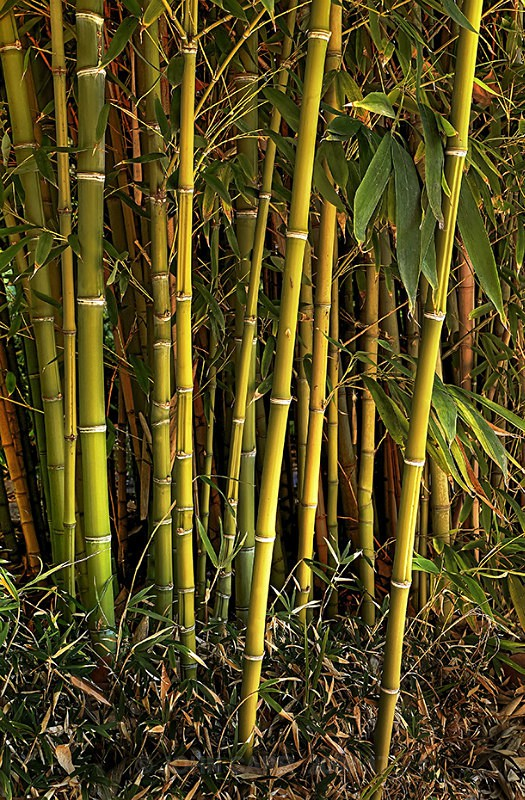 Bamboo2-1595_3_4 HDR - TREES, FLOWERS AND PLANT PHOTOS