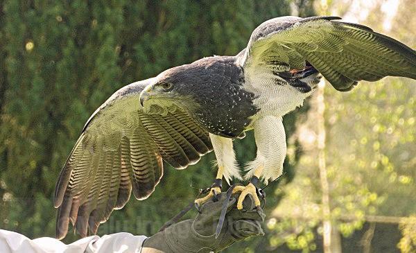 Chilean Blue Eagle - BIRDS