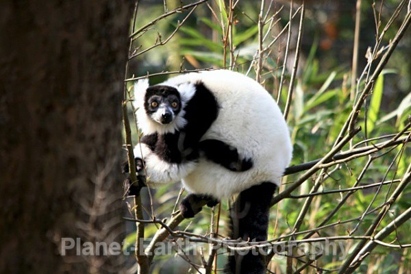 B & W Ruffed Lemur 3 - Around The World