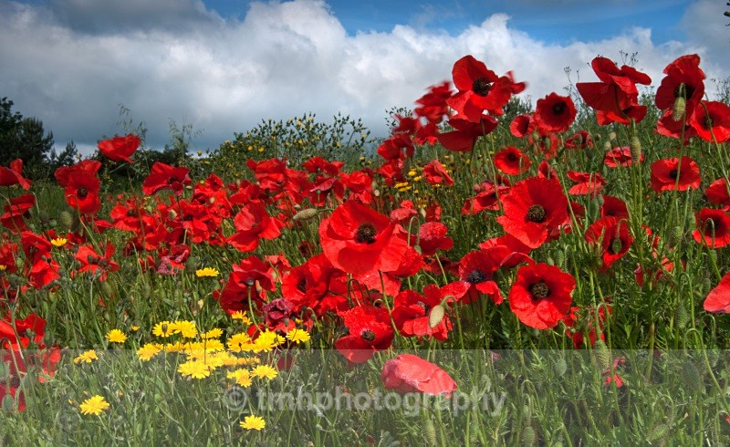 Large Poppyies with Sky - Creative Scenery