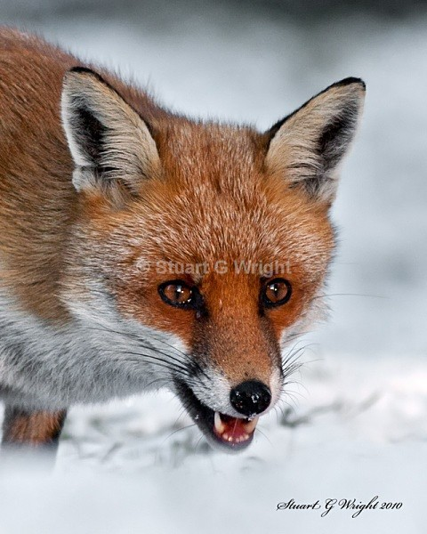 609 - Fox