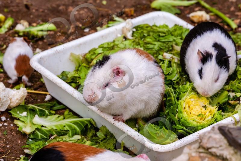 guinea pig cavia porcellus-473 - Pet Photography
