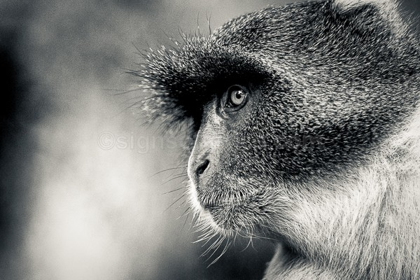 Sykes, Monkey, Nairobi, Kenya