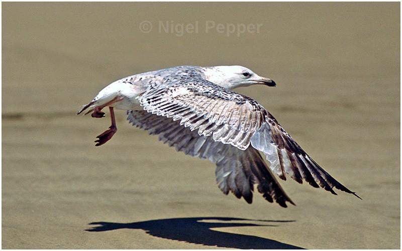 Early May 2004 (1) - Leggy the Herring Gull