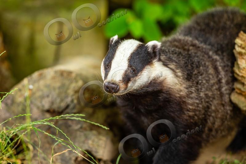 badger Meles meles-8197 - UK Wildlife