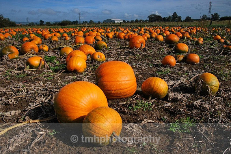 Pumpkin Field - Creative Scenery