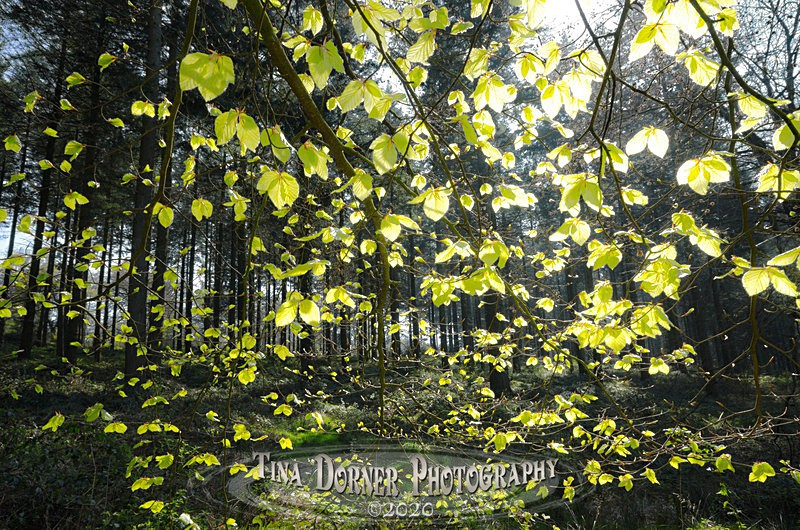 Spring Leaves by Tina Dorner Photography, Forest of Dean and Wye Valley, Gloucestershire