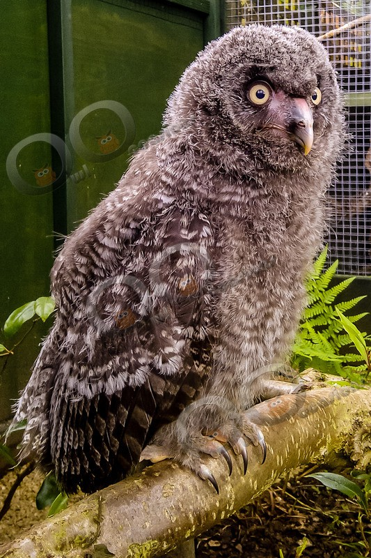 great grey owl stryx nebulosa-00088 - Owls of the World