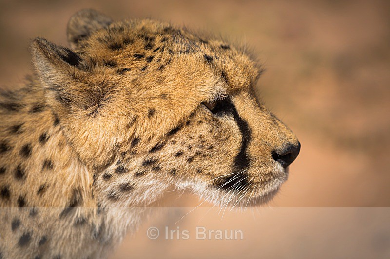 Portrait - Cheetah