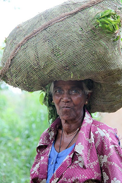 Tea plantation worker, Ella Sri Lanka - Sri Lanka wildlife, people & places