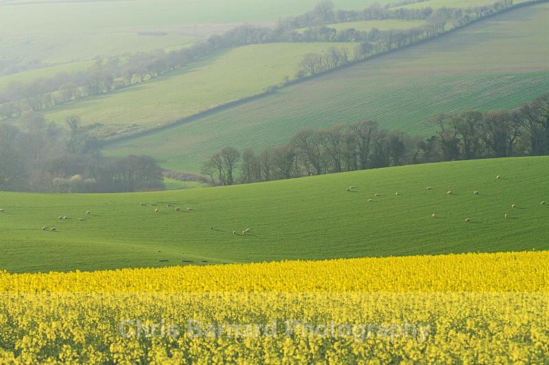 - Rapeseed Fields