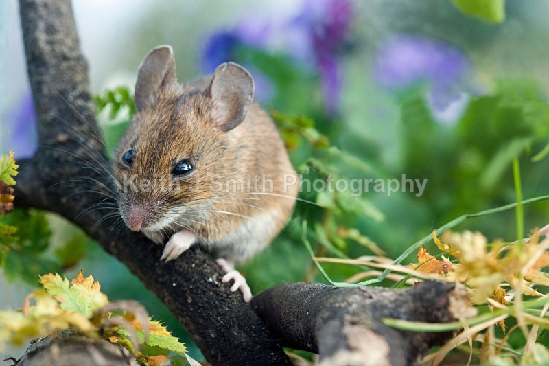 YR6M3331 - Yellow-necked Mouse.