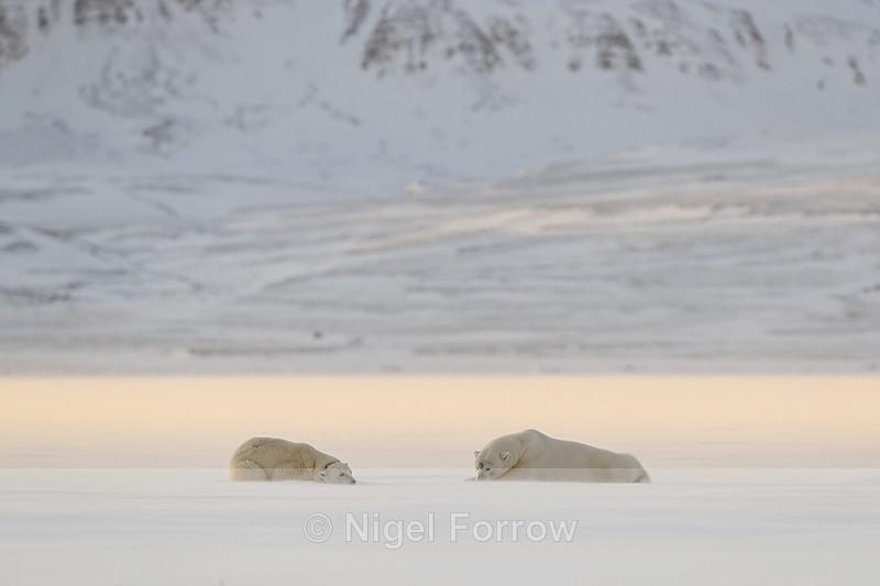 Polar Bears laying down, Svalbard, Norway - Polar Bear