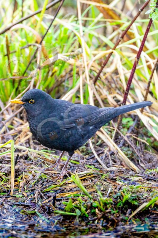 Blackbird Turdus merula-1181 - UK birds