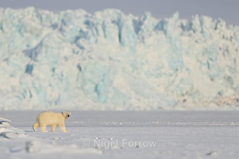 Polar Bear cub in front of glacier face, Svalbard, Norway - Polar Bear