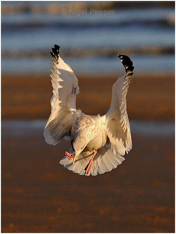 Coming Down - Leggy the Herring Gull