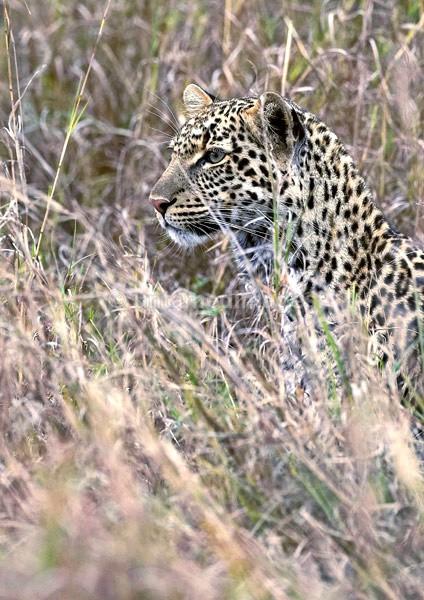 Leopard - Kenya
