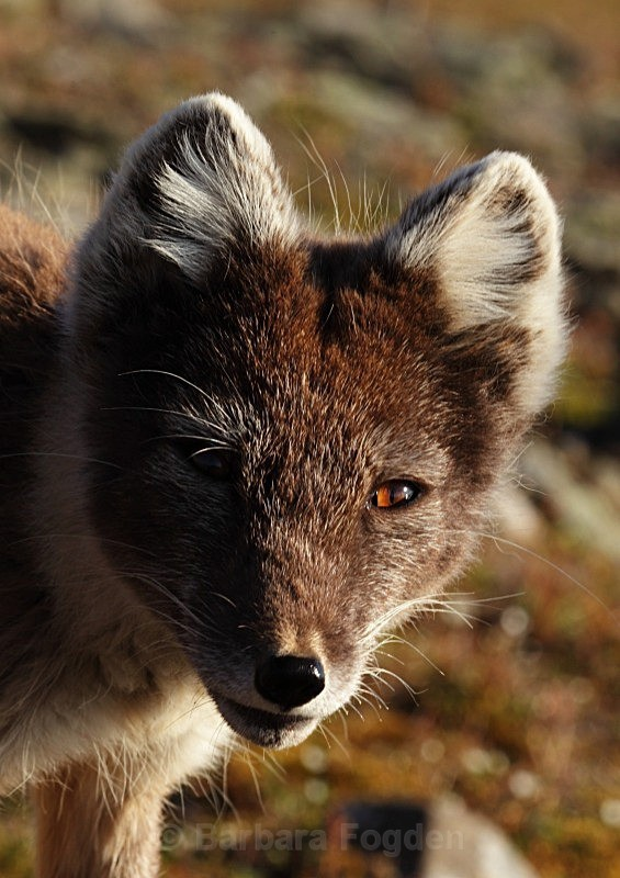 Arctic fox 7602 - Wildlife