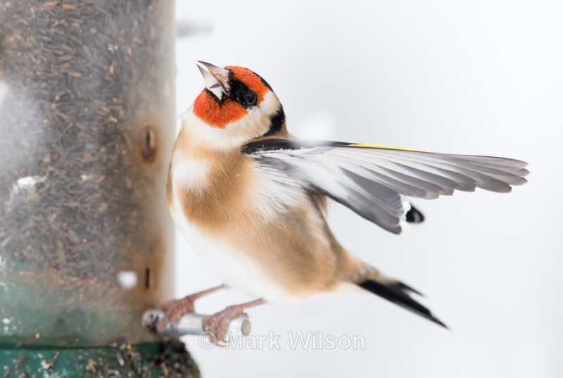 Goldfinch - On the feeders