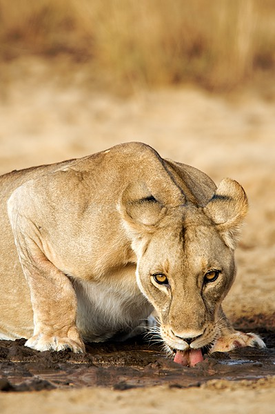 Lion Drinking Shompole, Kenya